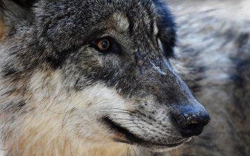 глаза, морда, хищник, волк