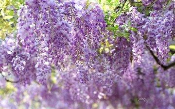 цветы, цветение, ветки, гроздья, глициния, вистерия