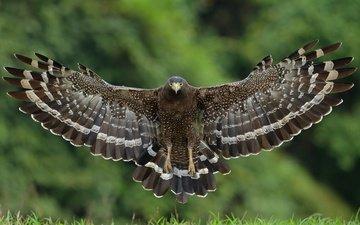 полет, крылья, птица, ястреб, большой хохлатый змееяд