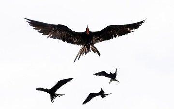 крылья, птица, фрегат, большой фрегат