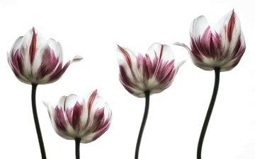 цветы, лепестки, весна, тюльпаны, белый фон, тюльпан, стебель