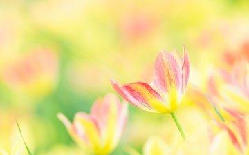 цветы, лепестки, размытость, весна, тюльпаны, тюльпан