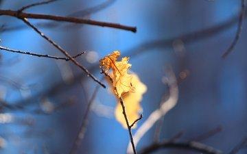 природа, листья, фон, листок, осень, дуб, веточки