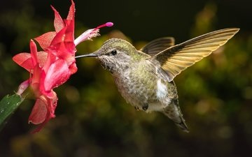 макро, цветок, птица, кактус, колибри, боке