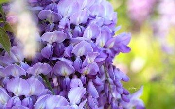 цветы, макро, соцветия, глициния, вистерия