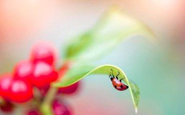 макро, насекомое, ягода, лист, божья коровка, растение, jacky parker