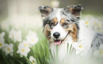 морда, цветы, взгляд, собака, нарциссы, боке, австралийская овчарка, аусси