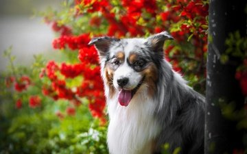 face, flowers, portrait, dog, language, bokeh, australian shepherd, aussie