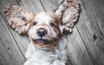 глаза, морда, взгляд, собака, щенок, уши, кокер-спаниель