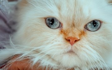 muzzle, cat, look, blue eyes, himalayan cat
