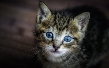 muzzle, cat, look, kitty, baby, blue eyes