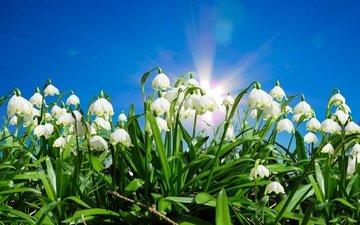 небо, цветы, солнце, листья, весна, белоцветник