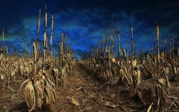 небо, природа, растения, фон, поле, кукуруза