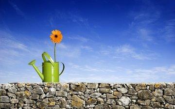 обои, цветок, лепестки, растение, стебель, лейка, гербера, ikostudio