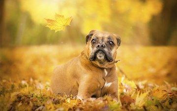глаза, взгляд, осень, собака, лист, боксер