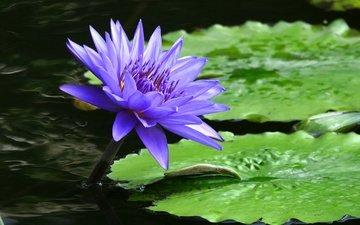 отражение, цветок, сиреневый, кувшинка, нимфея, водяная лилия