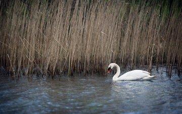 озеро, природа, птица, клюв, перья, лебедь, камыш