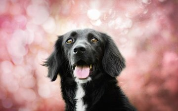 dog, language, bokeh, the border collie, kedves tamara, spring colors