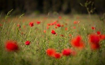цветы, поле, лето, красные, маки