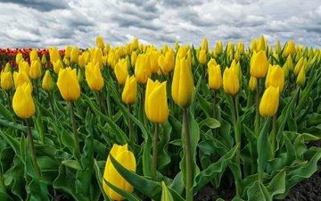 цветение, поле, весна, тюльпаны, желтые, нидерланды, голландия