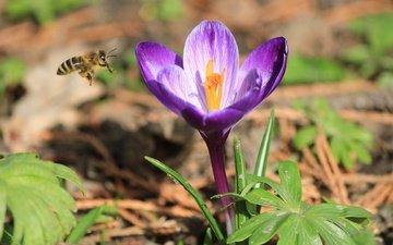 природа, насекомое, цветок, весна, пчела, крокус