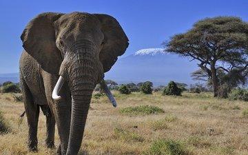 природа, дерево, гора, слон, африка, бивни