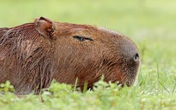 nature, background, animal, the capybara