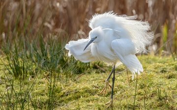 nature, background, bird, beak, heron, white egret
