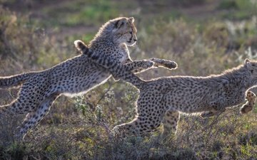 nature, the game, kittens, cheetah, cheetahs