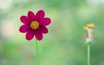 природа, цветок, лепестки, растение, стебель, георгин