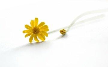 цветы, природа, лепестки, ромашка, стебель, желтые