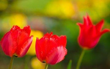 цветы, природа, лепестки, сад, луг, весна, тюльпан
