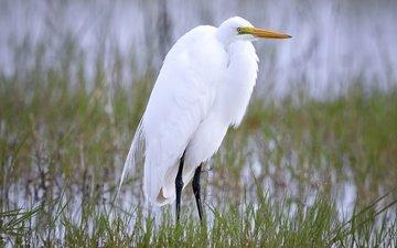nature, bird, beak, heron, white egret