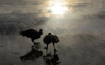природа, гриф, птицы, rob blanken, американская чёрная катарта