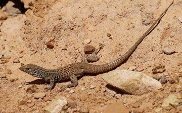 природа, пустыня, ящерица, пресмыкающееся