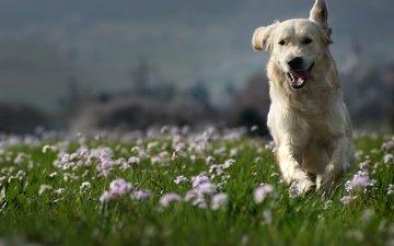 природа, собака, луг, друг, золотистый ретривер, clé manuel