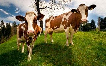 природа, швейцария, коровы