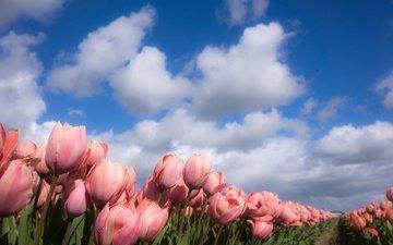 небо, цветы, облака, природа, весна, тюльпаны