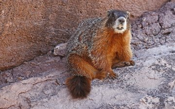 nature, teeth, marmot, rodent, yellow-bellied marmot