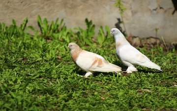 природа, фон, птицы, травка, голуби