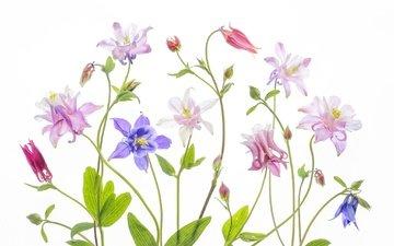 цветы, разноцветный, белый фон, водосбор, аквилегия