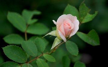 листья, цветок, роза, бутон, розовый