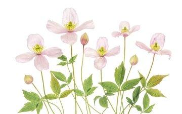цветы, розовый, белый фон, клематис, ломонос