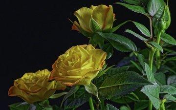 цветы, листья, розы, лепестки, черный фон