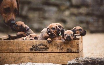 щенки, собаки, ящик, родезийский риджбек