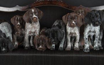 щенки, диван, собаки, футбольная команда, дратхаар, немецкая жесткошёрстная легавая