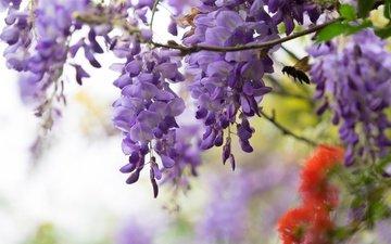 цветы, насекомое, ветки, сиреневые, глициния, вистерия