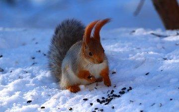 снег, зима, ушки, животное, белка, хвост, семечки, белочка, грызун