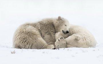 снег, природа, сон, медведи, белый медведь