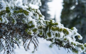 snow, nature, needles, winter, branch, ate